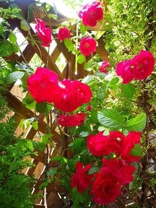 薔薇が咲いたよ~✿.jpg